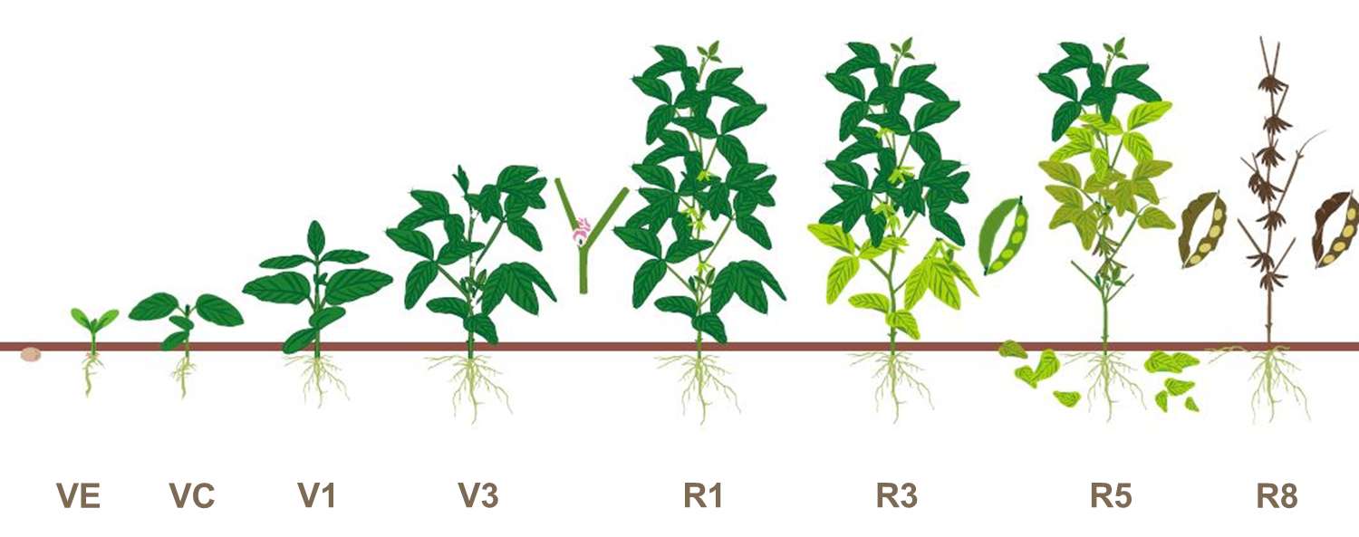 soybean growt stages